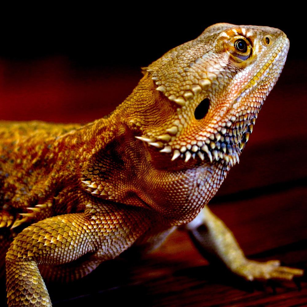 Australian Bearded Dragon