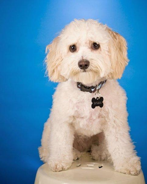 Maltese Poodle portrait